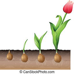 Tulip - Illustration of the developing tulip