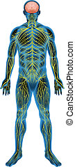 Human nervous system - Illustration of the human nervous...