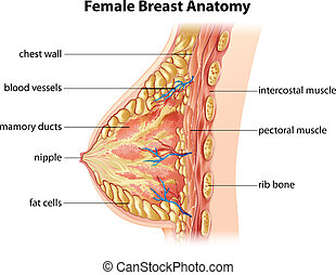 Female Breast Anatomy - Illustration showing the female...
