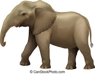 African elephant - Illustration showing the african elephant