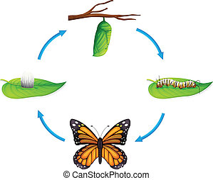 Life cycle - Danaus plexippus - Illustration of the life...