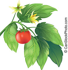 Tomato - Illustration of the tomato plant