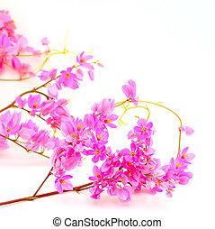 Coral Vine - Summer blossom flower, Antigonon leptopus or...