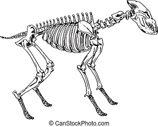 Skeleton of a hyena - Illustration showing the skeleton of a...