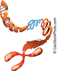 DNA chromosome - Illustration showing the DNA chromosome
