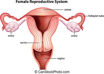 Female reproductive system - Illustration of female...