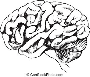 Human brain - Illustration of the human brain on a white...