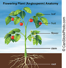 Parts of a tomato plant - Illustration showing the parts of...