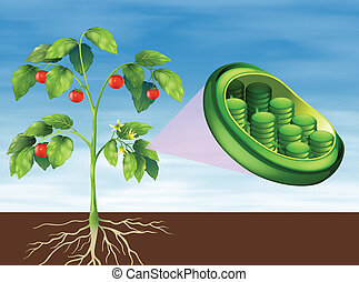 Chloroplast in plant - Illustration of a Chloroplast in...