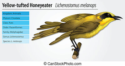 Lichenostomus melanops - Illustration of a Lichenostomus...