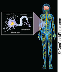 Female Neuron - Illustration showing the female neuron on a...
