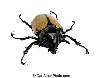 rinoceronte, escarabajo, bicho