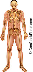 Human skeletal system - Illustration of the human skeletal...