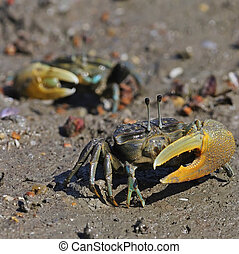 Fiddler crab - A two male Fiddler crab on a sandy beach