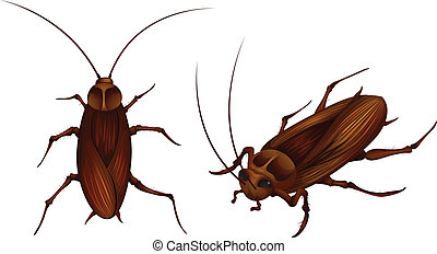 cockroaches - two detailed illustrations of cockroaches