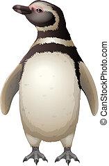 Magellanic Penguin - Illustration of the Magellanic Penguin