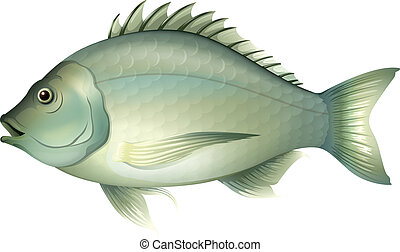 Acanthopagrus butcheri - Illustration of an Acanthopagrus...