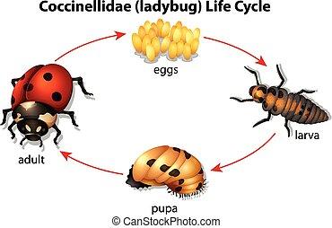 Ladybug - Illustration showing the life cycle of a Ladybug
