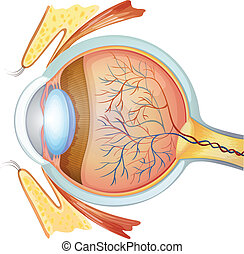 Human eye cross section - Illustration of a human eye cross...