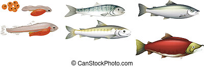 Life Cycle of Salmons - Illustration of the life cycle of...