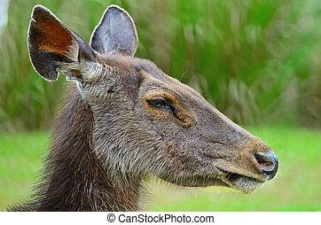 deer - Closeup face of Deer Muntiacus feai, side profile, in...