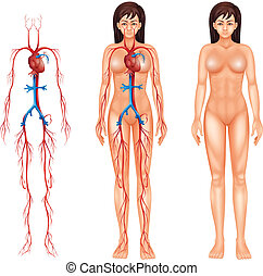 Female circulatory system - Illustration of the female...