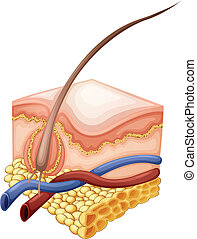 Epidermis - Illustration of an Epidermis on a white...