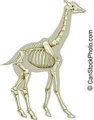 Giraffe skeletal system - Illustration of a Giraffe skeletal...