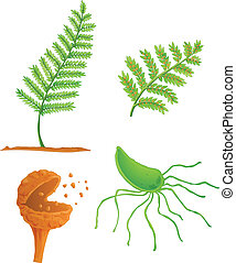 fern life cycle - Illustration of the fern life cycle