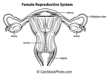 Female reproductive system - Illustration of the female...