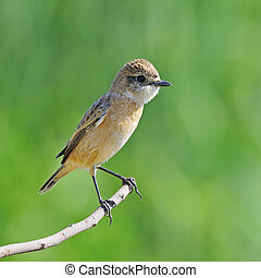 Eastern Stonechat - Beautiful grey bird, female Eastern...