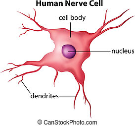 Human nerve cell - Illustration of the human nerve cell on a...