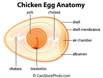 Chicken Egg Anatomy - Illustration showing the chicken egg...