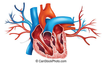 Human heart - Illustration of a human heart on a white...