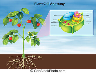 Anatomy of the plant cell - Illustration of the anatomy of...