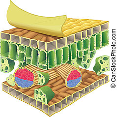 plant vascular tissue - Cross section of plant vascular...