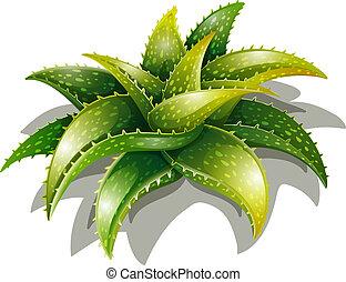 Aloe descoingsii - Illustration of an Aloe descoingsii on a...