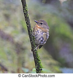 female Snowy-browed Flycatcher - Flycatcher bird, female...