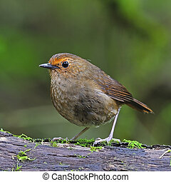 female White-browed Shortwing - Brown shortwing bird, female...