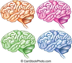 Human brains - Illustration of the human brains on a white...