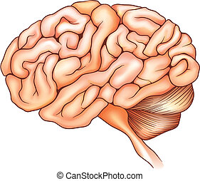 The human brain - An illustration of the human brain