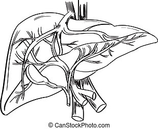 Human liver - Illustration showing the outline of a human...
