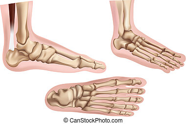 Foot bones - Illustration of the foot bones on a white...