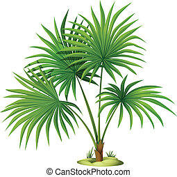 Washingtonia robusta - Illustration of the Washingtonia...
