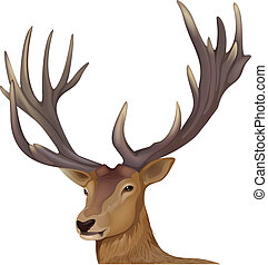A male deer - Illustration of a male deer