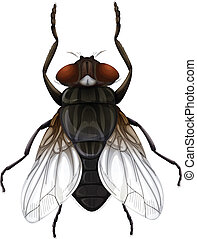 Musca domestica - Illustration of a Musca domestica on a...