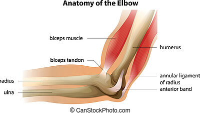 Anatomy of the Elbow - Illustration showing the anatomy of...