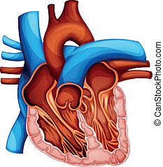 Human heart - Illustration of a human heart cross section
