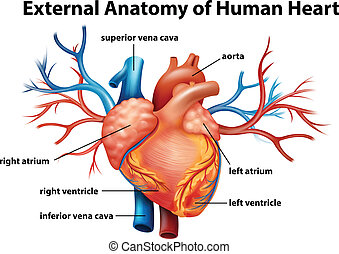 Anatomy of the human heart - Illustration of the anatomy of...