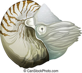 Nautilus shell - Illustration of a Nautilus genus